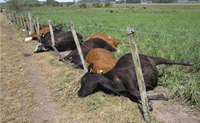 Отнеизвестной болезни вКазахстане массово гибнет скот